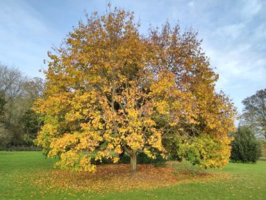 Louth's best loved tree